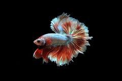 Peixes extravagantes de Betta Imagem de Stock