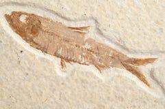 Peixes fósseis Fotos de Stock Royalty Free