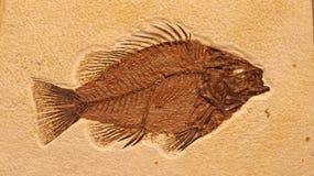 Peixes fósseis Imagem de Stock Royalty Free