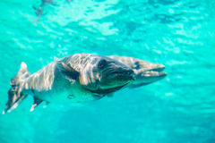 Peixes ferozes Foto de Stock Royalty Free