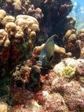 Peixes franceses do anjo Fotos de Stock