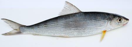 Peixes frescos Foto de Stock