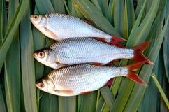 Peixes frescos Imagens de Stock