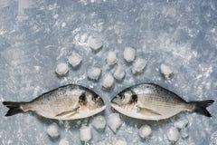 Peixes frescos de Dorado em um fundo cinzento com gelo, vista superior Olhar de dois peixes crus em se Copie o espaço fotos de stock