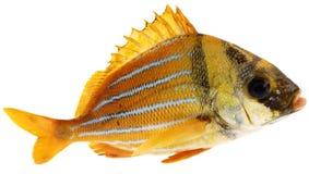 Peixes frescos do ouro Fotografia de Stock