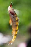 Peixes frescos no gancho Fotos de Stock