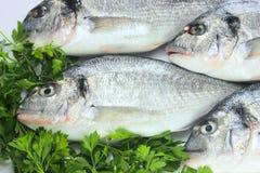 Peixes frescos pacíficos Imagem de Stock