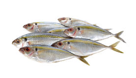 Peixes frescos redondos inteiros do scad da amarelo-listra no branco Imagem de Stock Royalty Free