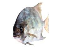 Peixes frescos tropicais Imagens de Stock