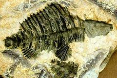 Peixes fósseis Imagens de Stock Royalty Free