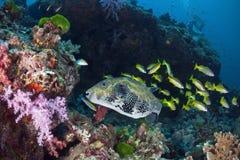 Peixes gigantes do soprador na água do mar de Andaman, Tailândia Fotografia de Stock