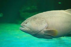 Peixes gigantes grandes da garoupa fotos de stock