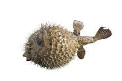 Peixes grandes do ouriço com os espinhos, isolados no fundo branco fotos de stock royalty free