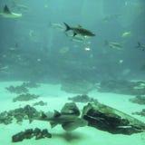 Peixes grandes na natação exótica da natureza nas águas profundas com o fundo azul com pedras foto de stock