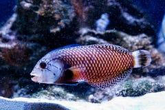 Peixes Guban - taeniourus de Novaculichthys do dragão imagem de stock