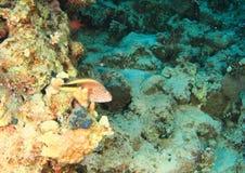 Peixes - hawkfish de Wreckled fotografia de stock