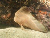 Peixes indianos vermelhos Imagem de Stock