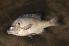 Peixes inoperantes fotografia de stock