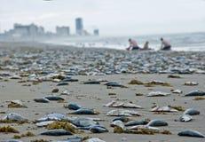 Peixes inoperantes durante a maré vermelha Imagem de Stock Royalty Free