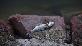 Peixes inoperantes em rochas Fotos de Stock