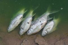 Peixes inoperantes flutuados nas águas residuais verdes Foto de Stock