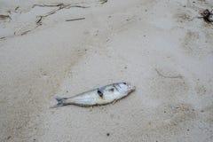 Peixes inoperantes lavados-acima na praia Fotos de Stock