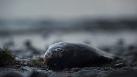 Peixes inoperantes que encontram-se na costa, tragédia no oceano, desastre ambiental, ecologia imagem de stock royalty free