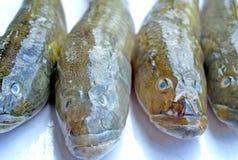 Peixes isolados Fotos de Stock Royalty Free
