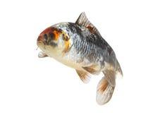 Peixes isolados do koi Fotografia de Stock Royalty Free