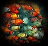 Peixes japoneses do koi Fotos de Stock