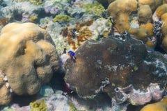 Peixes juvenis do anjo azul Imagens de Stock