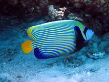 Peixes listrados azuis Imagens de Stock Royalty Free