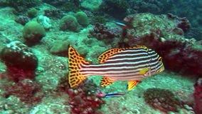 Peixes listrados bonitos originais no fundo do fundo do mar claro Maldivas subaquáticos vídeos de arquivo