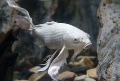 Peixes longos da carpa da fantasia da aleta Foto de Stock Royalty Free