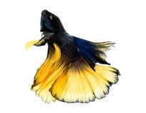 Peixes macro de Betta de Sião Fotografia de Stock Royalty Free