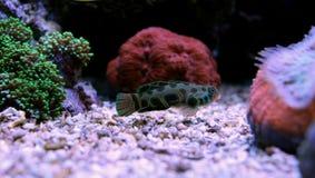 Peixes manchados verde do mandarino Imagem de Stock