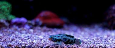 Peixes manchados verde do mandarino Fotografia de Stock