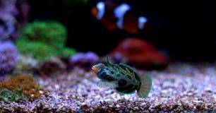 Peixes manchados verde do mandarino Fotografia de Stock Royalty Free