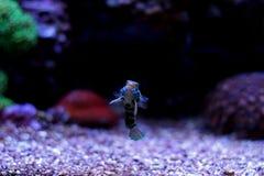 Peixes manchados verde do mandarino Imagens de Stock