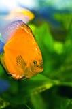 Peixes marinhos Imagem de Stock Royalty Free