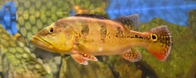 Peixes marinhos do aquário Foto de Stock