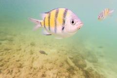 Peixes marinhos tropicais subaquáticos como capturados em Pulau Payar Langkawi Malásia foto de stock