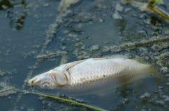 Peixes matados pela poluição Fotos de Stock Royalty Free