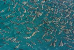 Peixes na água clara Imagens de Stock