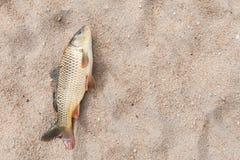 Peixes na areia, carpa Fotografia de Stock Royalty Free