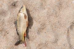 Peixes na areia, carpa Fotos de Stock Royalty Free