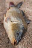 Peixes na areia, carpa Foto de Stock