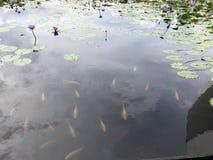 Peixes na lagoa de lótus imagens de stock royalty free