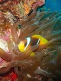 Peixes Nemo do palhaço Imagens de Stock