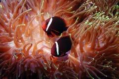 Peixes no anemone Imagens de Stock